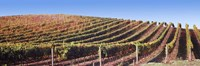 Rows of vines on a hill, Napa Valley, California, USA Fine-Art Print