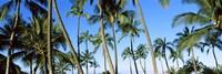 Low angle view of palm trees, Oahu, Hawaii, USA Fine-Art Print
