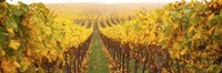 Vine crop in a vineyard, Riquewihr, Alsace, France Fine-Art Print
