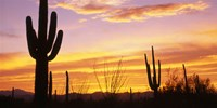 Sunset Saguaro Cactus Saguaro National Park AZ Fine-Art Print