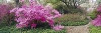 Azalea flowers in a garden, Garden of Eden, Ladew Topiary Gardens, Monkton, Baltimore County, Maryland, USA Fine-Art Print