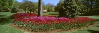 Azalea and Tulip Flowers in a park, Sherwood Gardens, Baltimore, Maryland, USA Fine-Art Print