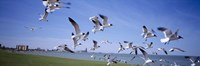 Flock of seagulls flying on the beach, New York State, USA Fine-Art Print