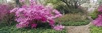 Azalea flowers in a garden, Garden of Eden, Ladew Topiary Gardens, Monkton, Baltimore County, Maryland, USA Fine-Art Print