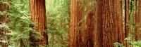Redwoods Muir Woods CA USA Fine-Art Print