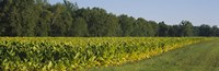 Crop of tobacco in a field, Winchester, Kentucky, USA Fine-Art Print