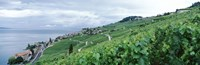 Vineyard on a hillside in front of a lake, Lake Geneva, Rivaz, Vaud, Switzerland Fine-Art Print