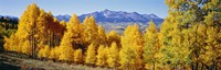 Fall Aspen Trees Telluride CO Fine-Art Print