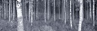 Birch Trees In A Forest, Finland Fine-Art Print