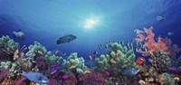 School of fish swimming near a reef, Indo-Pacific Ocean Fine-Art Print