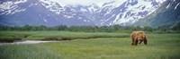 Grizzly bear grazing in a field, Kukak Bay, Katmai National Park, Alaska Fine-Art Print
