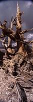 Bristlecone pine tree (Pinus longaeva) under cloudy sky, Inyo County, California, USA Fine-Art Print
