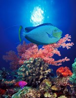 Vlamings unicornfish and Squarespot anthias (Pseudanthias pleurotaenia) with soft corals in the ocean Fine-Art Print