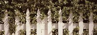 White picket fence surrounded by bushes along Truman Avenue, Key West, Monroe County, Florida, USA Fine-Art Print