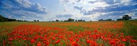 Close Up of Red Poppies in a field, Norfolk, England Fine-Art Print
