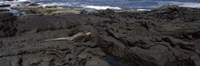 Marine iguana (Amblyrhynchus cristatus) on volcanic rock, Isabela Island, Galapagos Islands, Ecuador Fine-Art Print