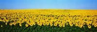 Sunflower Field, North Dakota, USA Fine-Art Print