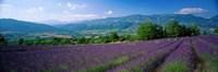 Lavender Fields, La Drome Provence, France Fine-Art Print