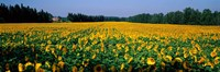 Sunflowers St Remy de Provence Provence France Fine-Art Print