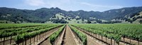 Rows of vine in a vineyard, Hopland, California Fine-Art Print