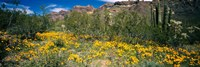 Flowers in a field, Organ Pipe Cactus National Monument, Arizona, USA Fine-Art Print