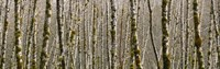 Trees in the forest, Red Alder Tree, Olympic National Park, Washington State, USA Fine-Art Print