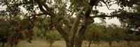 Apple trees in an orchard, Sebastopol, Sonoma County, California, USA Fine-Art Print