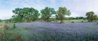 Field of Bluebonnet flowers, Texas, USA Fine-Art Print