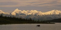 Moose standing on a frozen lake, Wonder Lake, Denali National Park, Alaska, USA Fine-Art Print