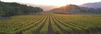 Sunset, Vineyard, Napa Valley, California, USA Fine-Art Print