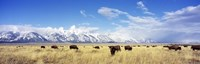 Bison Herd, Grand Teton National Park, Wyoming, USA Fine-Art Print