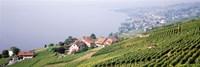 Vineyards, Lausanne, Lake Geneva, Switzerland Fine-Art Print
