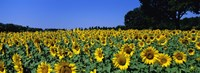 Sunflowers In A Field, Provence, France Fine-Art Print