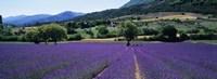 Lavender Field, Provence, France Fine-Art Print