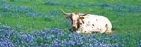 Texas Longhorn Cow Sitting On A Field, Hill County, Texas, USA Fine-Art Print