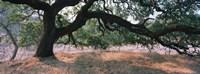 Oak tree on a field, Sonoma County, California, USA Fine-Art Print