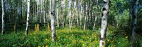 Field of Rocky Mountain Aspens Fine-Art Print