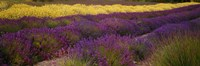 Lavender and Yellow Flower fields, Sequim, Washington, USA Fine-Art Print