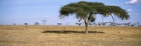 Acacia trees with weaver bird nests, Antelope and Zebras, Serengeti National Park, Tanzania Fine-Art Print