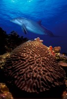 Bottle-Nosed dolphin (Tursiops truncatus) and coral in the sea Fine-Art Print