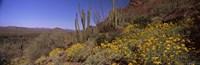 Organ Pipe cactus and yellow wildflowers, Arizona Fine-Art Print