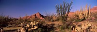 Organ Pipe Cacti, Organ Pipe Cactus National Monument, Arizona, USA Fine-Art Print