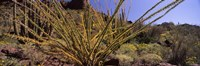 Plants on a landscape, Organ Pipe Cactus National Monument, Arizona (horizontal) Fine-Art Print