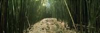 Bamboo forest, Hana Coast, Maui, Hawaii, USA Fine-Art Print