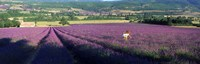 Woman walking through fields of lavender, Provence-Alpes-Cote d'Azur, France Fine-Art Print