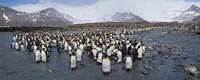 King penguins colony, St Andrews Bay, South Georgia Island Fine-Art Print