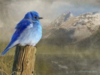 Mountain Blue Bird Fine-Art Print