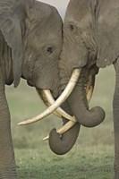 Two African elephants, Arusha Region, Tanzania Fine-Art Print
