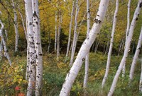 White Birch Trees Fine-Art Print