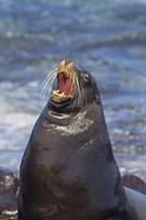 Galapagos sea lion (Zalophus wollebaeki) on the beach, Galapagos Islands, Ecuador Fine-Art Print